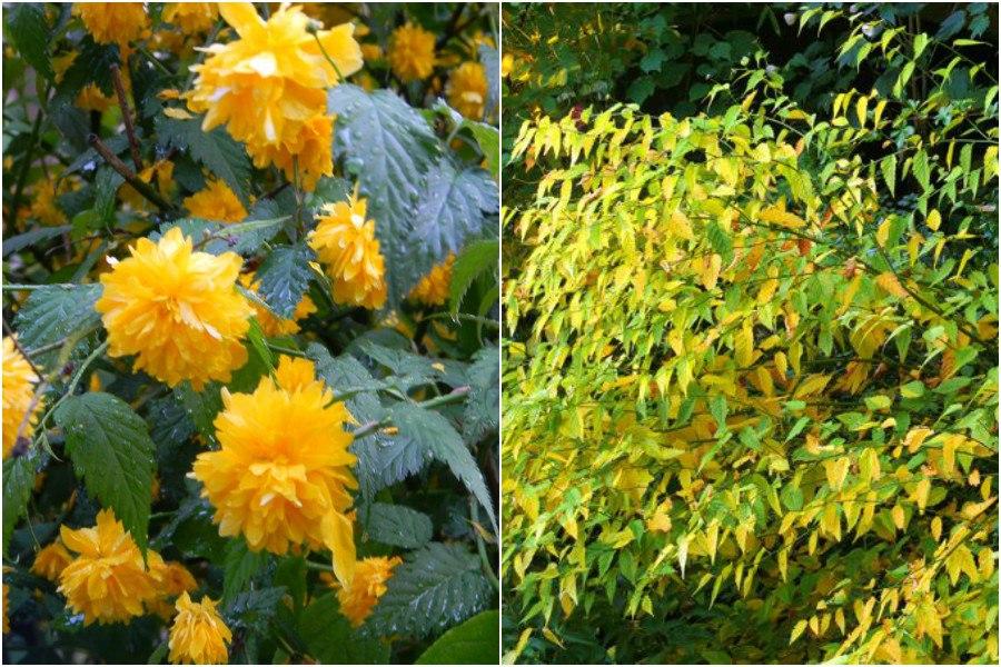 Осенний сад на даче-керия японская в цвету и после осенью