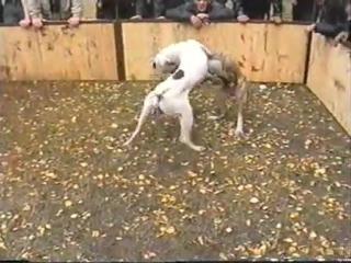 Собачьи бои аргентинский дог vs питбуль 90 е