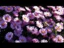 последние осенние цветки у меня на даче сентябринки а вот что за бабочка не знаю но их довольно много вьется над цветами