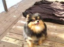 FOR SALE pomeranian female Ursula Black Gold Star Iz Knyaginino age 9 m