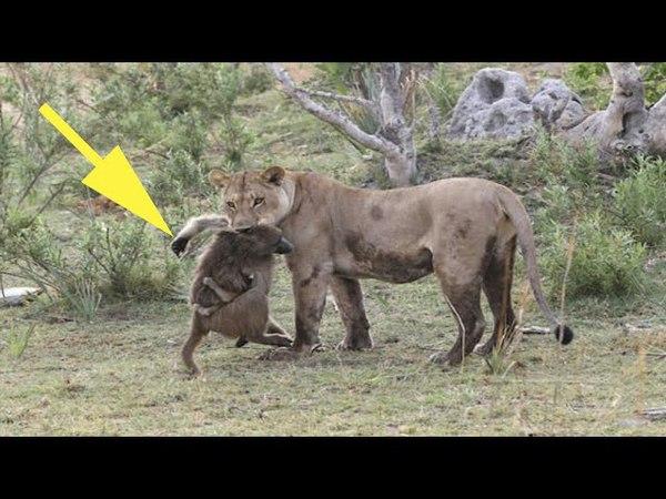 Львица схватила обезьяну но заметив детёныша сделала невероятное