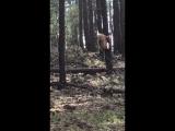 В сети появилось видео нападения американского черного медведя на олененка вапити