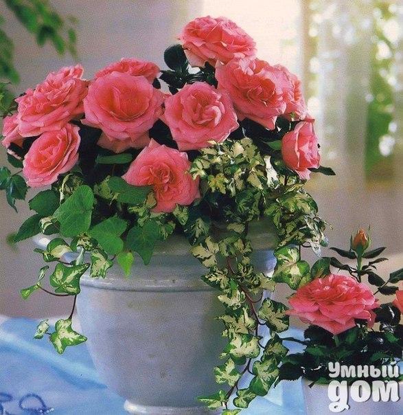 Пересадка комнатной розы. Почему она погибает после покупки? Часто бывает так, что нам дарят комнатную розу, мы с благими намерениями ее помещаем в новый горшок, а она погибает. Чтобы такого не случилось, нужно изучить правила пересадки комнатной розы и учесть все минусы такого процесса. Комнатный цветок розу следует практически сразу определить на новом месте жительства и пересадить. Изначально нужно протереть растение теплым мыльным раствором, опрыскать смесью воды с эпином (1 л – 5 капель)…