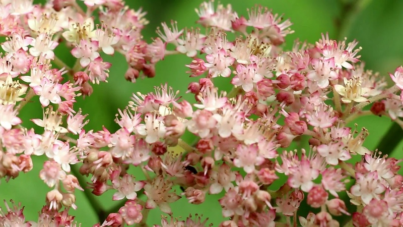 РОДЖЕРСИЯ - растение для тенистого сада.