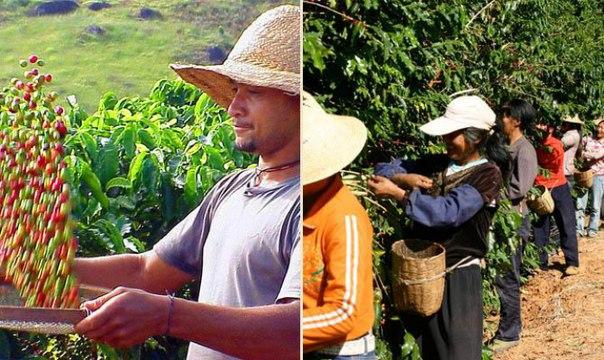 Самой большой страной производителем кофе