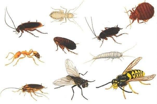 КАК БОРОТЬСЯ С БЫТОВЫМИ НАСЕКОМЫМИ? 1. МУХИ. Комнатные мухи не выносят запаха пижмы: если в комнате будет это растение, мухи улетят. 2. Меньше мух будет залетать в окно, если смазать рамы уксусом. 3. Мухи не выносят запаха воска, скипидара, касторового масла, а больше всего — керосина. 4. Когда моете окна и полы, добавляйте в воду немного керосина. Летом затяните окна марлей в два слоя или повесьте на форточку нарезанную полосками бумагу. 5. Старый и испытанный способ для уничтожения мух —…