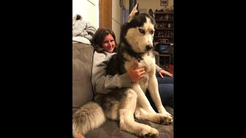 1 笑わないようにしてください・最高におもしろハスキー犬のハプニン124