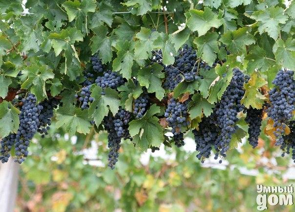 Виноград - секреты ухода! Местоположение и освещение Виноград очень любит солнце, поэтому выращивают его в местах открытых и обращенных на юг. Так оптимально подойдет склон, стена или ограда, обращенные на юго-запад или юг. Главное условие успешного роста – защищенность от ветра. Виноград не будет расти в местах застоя прохладного воздуха. Для нормального развития темноплодовым сортам нужен более теплый климат, нежели светлоплодовым. Полив Обычно виноград, выращиваемый в более или менее…
