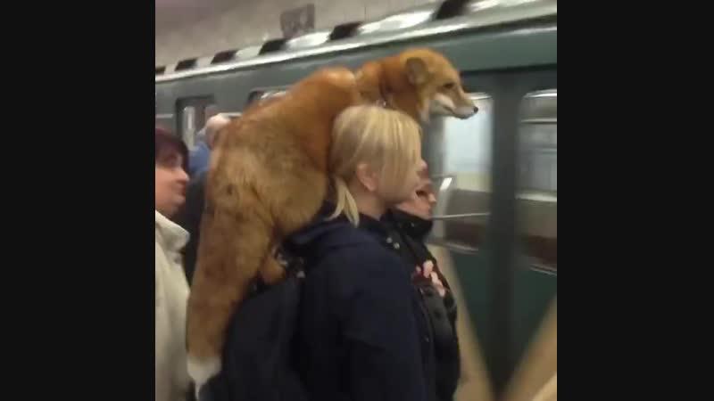 Лиса в метро