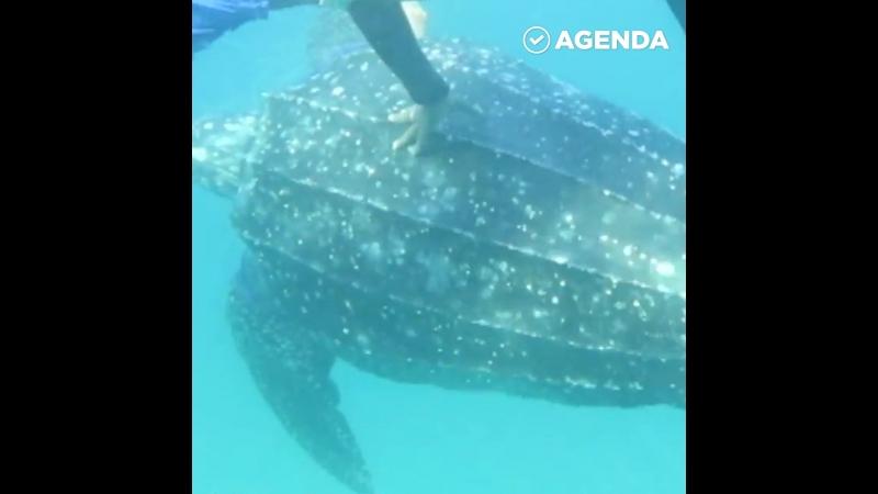 Дайверы спасают огромную черепаху из сетей
