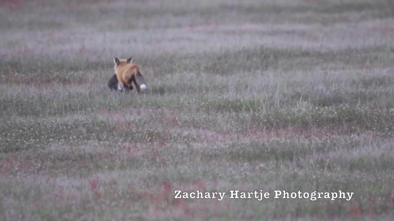 Бессовестный орел стырил у лисы кролика. Схватка в воздухе.