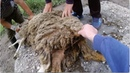 Важный момент подготовки овцы к паровке.