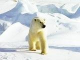 Белый Медведь. Айка.