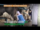 Дойка коров - настоящее искусство