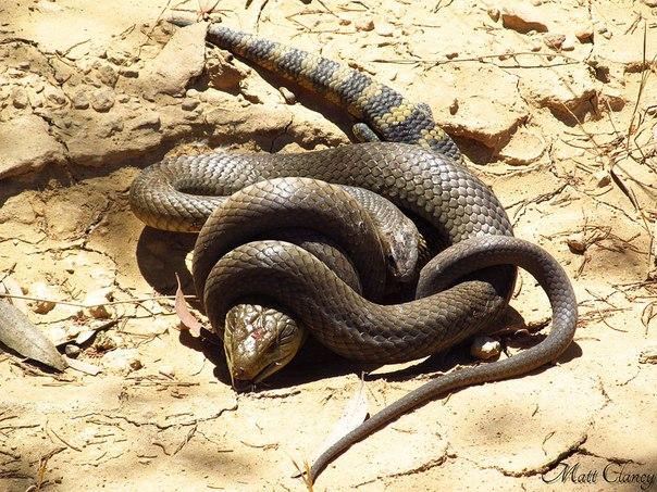 Сетчатая коричневая змея поедает гладкую ящерицу