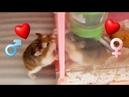 很久不見、看到對方就激吻的情侶鼠! 如何分辨公母鼠(圖文)及公母鼠飼39178