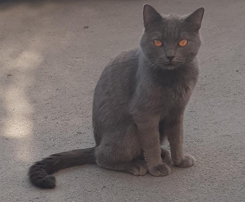 Чей потеряшка? Шотландский кот голубого | Объявления Орска и Новотроицка №7579