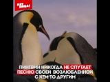 Планета Земля - Чем пингвины похожи на нас