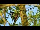 Пёстрые дятлы-2 (нем. Buntspecht-2) (анг. Woodpecker-2)