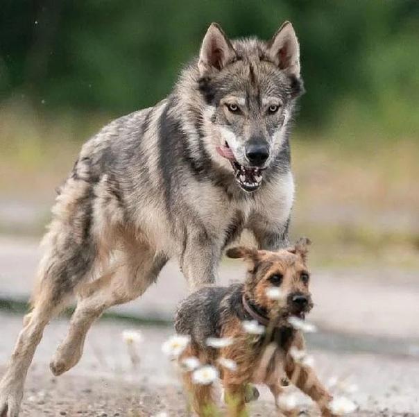Тамаскан - это финская порода собак, которая выглядит как волк, но с нулевой волчьей кровью