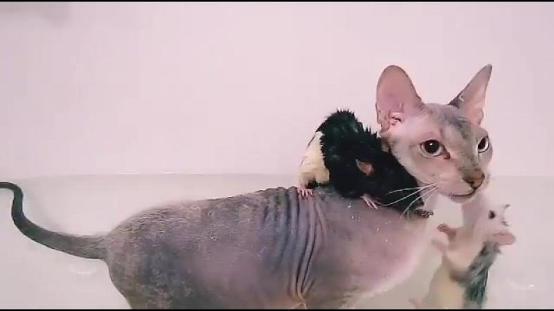 Сфинкс купается с крысами