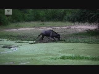 Крокодил напал на антилопу гну
