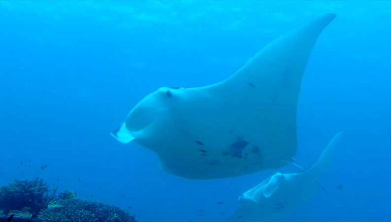 Manta rays diving with manta rays on Lady Elliot Island in Australia Скат манта, Австралия
