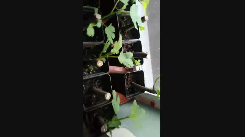 Саженцы инжира Проверяем практикой