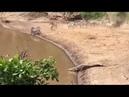 Крокодил атакует зебру Crocodile attack zebra