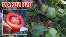 МАКСИ РИО - Толстостенный высокоурожайный сортовой томат (25-07-2018)
