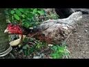 XEM GÀ MÁI MẸ ĐUỔI CHUỘT BẢO VỆ Ổ TRỨNG Mother chicken chasing mouse protect egg nest