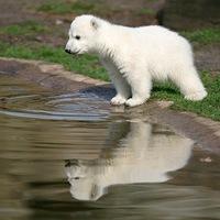 """Кнут "" (Медвежонок из Берлинского зоопарка) ."