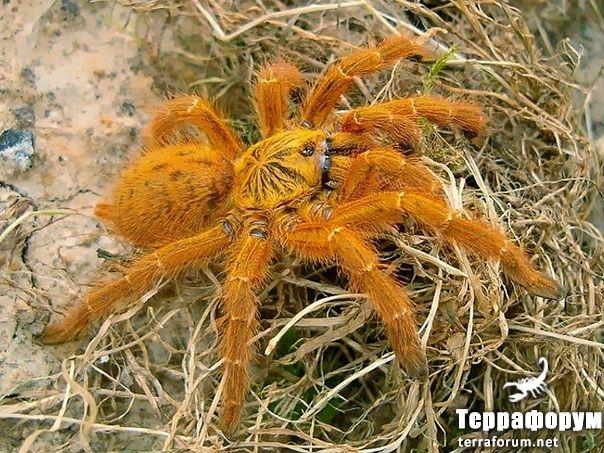 Pterinochilus-murinus