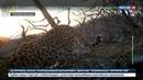 Новости на Россия 24 Рычание дальневосточного леопарда впервые удалось записать на камеру