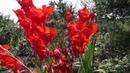 Гладиолусы. Gladiolus.