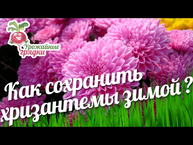 Как сохранить хризантемы зимой? Уход за хризантемой urozhainye_gryadki