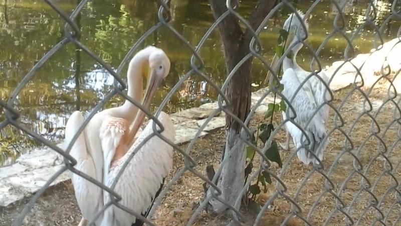 Розовые пеликаны.Наш зоопарк.