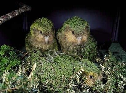 Какапо или совиный попугай- - 1ac