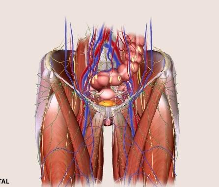 женские органы таза