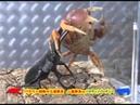 Palawan Stag Beetle VS Halloween Crab