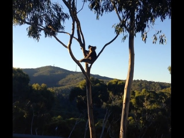 A Morning Cuppa With a Koala
