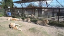 Фото между львами Алексом и Дейлом ! Витя -большой ребенок !