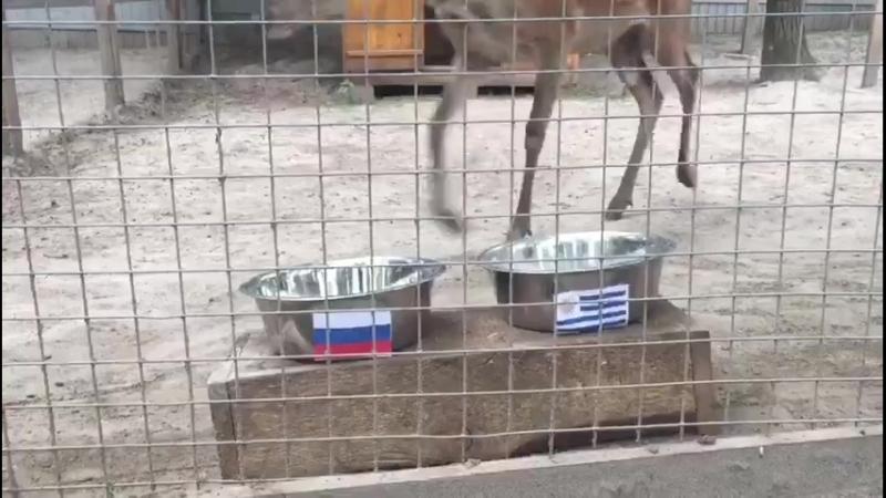 В зоопарке олень выбрал победителя в матче.