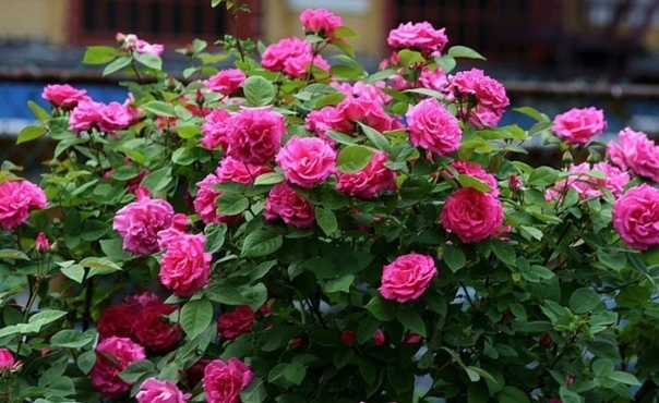 Как защитить садовую розу Для защиты роз от от ржавчины, пятнистости и мучнистой росы хорошо помогает следующее средство.Потребуется:- 1 столовая ложка соды;- 1 чайной ложки средства для мытья