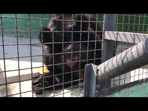 Мишка Фима любит есть тыкву. (Самарские медведи). Тайган. Крым.