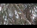 Лазоревка обыкновенная Parus cyanus – Песня и позывка