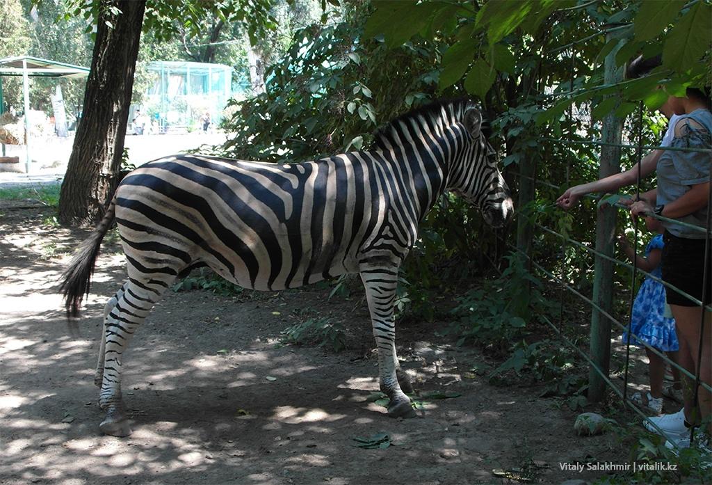 Зебра в алматинском зоопарке, 2018