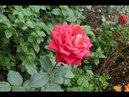 Розы Посадка и Уход за Розами Весной и Осенью