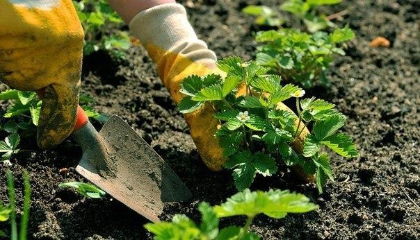 Земляника садовая. Советы по выращиванию.