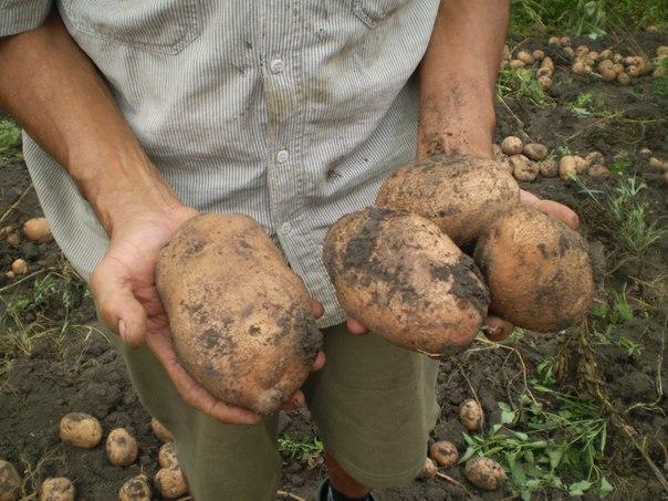 Как вырастить с одного куста - два ведра картофеля И сейчас я вам расскажу как это сделать.